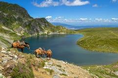 Tre packehästar nära njure sjön royaltyfria foton