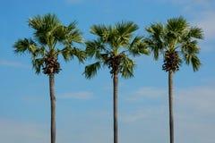 Tre palme snelle contro cielo blu thailand fotografia stock libera da diritti