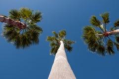 Tre palmträd och blåttSky Arkivfoton