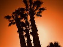 Tre palmträd på en solnedgångbakgrund Afrika varm sommar n Arkivfoto