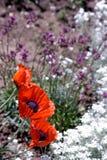 Tre papaveri in una base di fiore Fotografie Stock