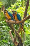 Tre pappagalli dell'ara su un ramo Immagini Stock