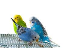 Tre pappagallini ondulati sulla gabbia Fotografia Stock