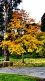 Autumn tree with vivid colors, Jonkoping, Sweden Royalty Free Stock Photography