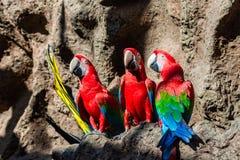 Tre parots rossi dell'ara all'aperto fotografia stock