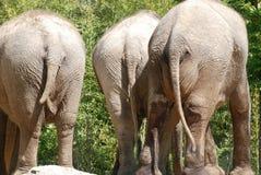 Tre parti inferiori dell'elefante Fotografia Stock
