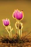 Tre pasqueflowers och en nyckelpiga 2 Arkivfoto
