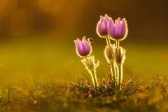 Tre pasqueflowers och en nyckelpiga Arkivfoton