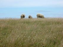 Tre pecore Immagini Stock