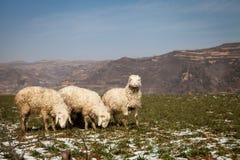 Tre pecore Fotografie Stock