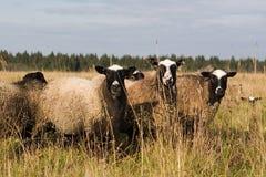 Tre pecore. Immagini Stock