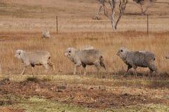 Tre pecore che camminano in una riga in un recinto chiuso asciutto dell'azienda agricola Immagini Stock Libere da Diritti
