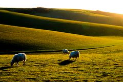 Tre pecore che pascono su Sussex Rolling Hills Fotografie Stock