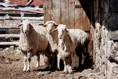 Tre pecore che stanno davanti ad una porta di granaio Fotografie Stock Libere da Diritti