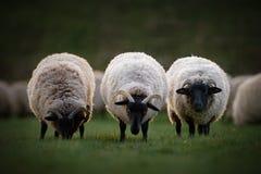 Tre pecore della Norfolk Horn Immagini Stock