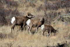 Tre pecore di Bighorn Fotografie Stock Libere da Diritti
