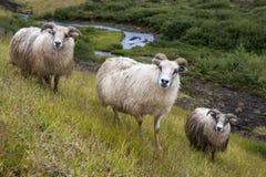 Tre pecore islandesi su un prato, Islanda immagini stock libere da diritti