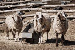 Tre pecore in un'azienda agricola Fotografia Stock Libera da Diritti
