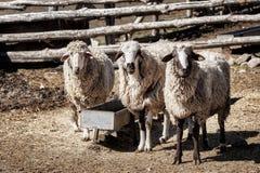 Tre pecore in un'azienda agricola Fotografia Stock