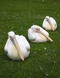 Tre pelikan i rad royaltyfria bilder