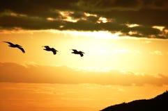 Tre pelikan på soluppgång Bahia Concepcion, Baja California, Mexico Royaltyfria Bilder