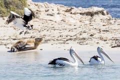 Tre pellicani e un leone marino sulla spiaggia dell'isola del pinguino, Rockingham, Australia occidentale fotografia stock libera da diritti