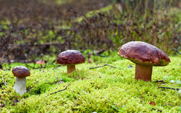 Tre perfekta champinjoner som växer i skog Arkivbilder