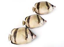 Tre pesci tropicali Immagini Stock Libere da Diritti