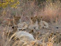 Tre più vecchi cuccioli di leone Immagine Stock