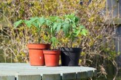 Tre piante di pomodori mature in vasi su una tavola Fotografia Stock Libera da Diritti