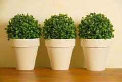 Tre piante di POT decorative Fotografie Stock Libere da Diritti
