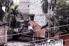 Tre piccioni che si siedono su un cavo elettrico fotografia stock