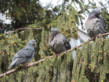 tre piccioni che si siedono sul ramo di un albero Fotografie Stock