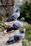 Tre piccioni grigi sulla collina. Fotografia Stock