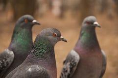 Tre piccioni in una fila che guarda la stessa direzione Fotografia Stock Libera da Diritti