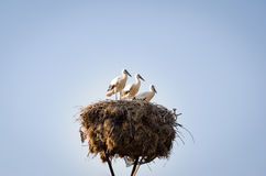 Tre piccole cicogne in un nido Fotografia Stock