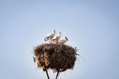 Tre piccole cicogne in un nido Immagine Stock Libera da Diritti