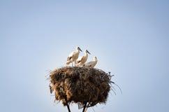 Tre piccole cicogne in un nido Immagini Stock Libere da Diritti