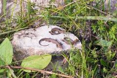 Tre piccole lucertole grige che prendono il sole sulla pietra nell'erba fotografia stock libera da diritti