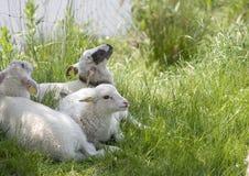 Tre piccoli agnelli Fotografie Stock Libere da Diritti