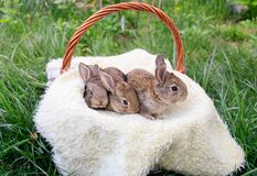 Tre piccoli e bei coniglietti fotografie stock libere da diritti