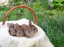 Tre piccoli e bei coniglietti fotografia stock libera da diritti