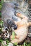Tre piccoli gattini che giocano in un'erba fotografie stock