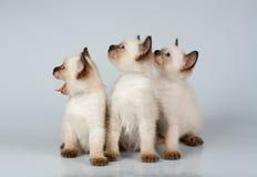 Tre piccoli gattini siamesi Fotografia Stock