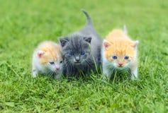 Tre piccoli gattini svegli che camminano su un'erba verde Fotografia Stock Libera da Diritti
