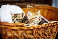 Tre piccoli gattini in un canestro Immagine Stock Libera da Diritti