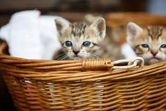 Tre piccoli gattini in un canestro Immagini Stock