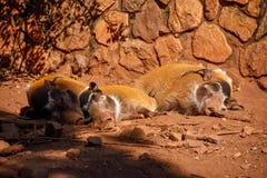 Tre piccoli maiali del fiume Rosso Fotografie Stock