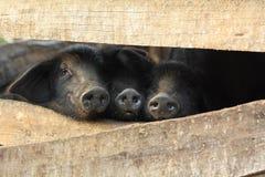 Tre piccoli maiali neri in una penna Immagini Stock Libere da Diritti