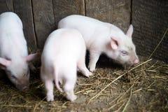 Tre piccoli maiali rosa Animali neonati Fotografia Stock